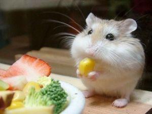 hamsterfood