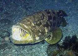 grouperfish